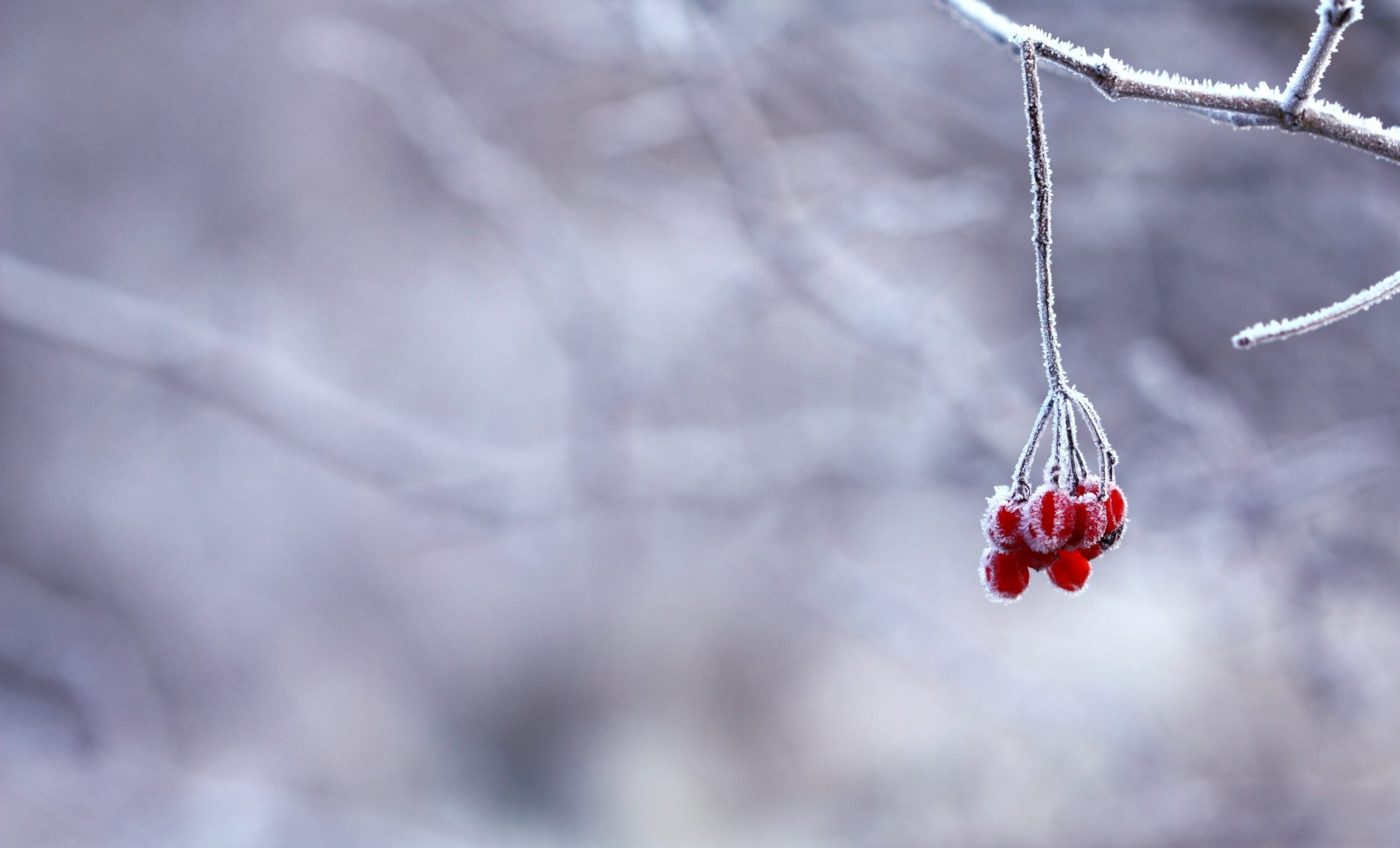 red-fruit-handing-on-tree-branch-selective-color-photography-64705