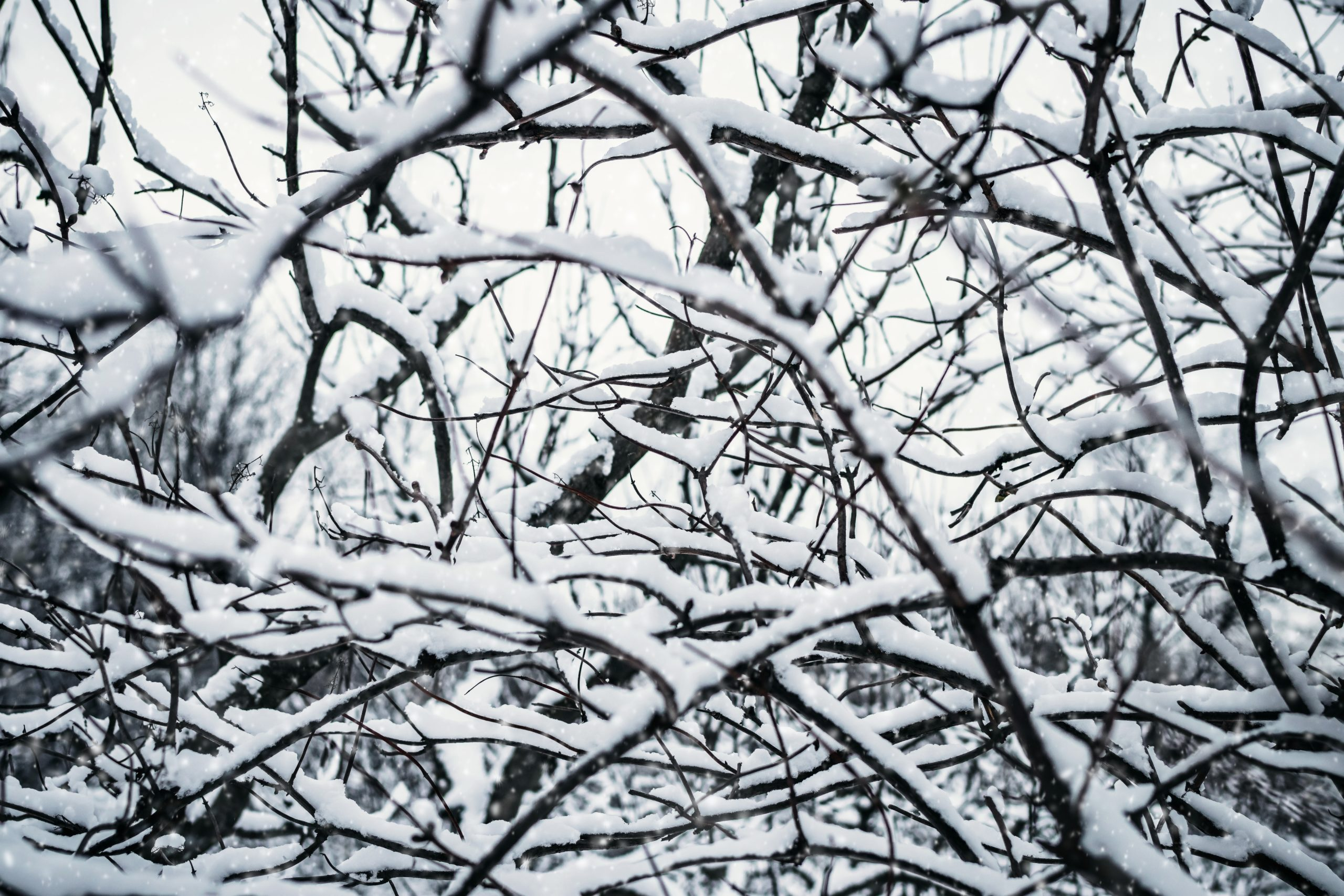 tree-branches-covered-with-snow-3626707