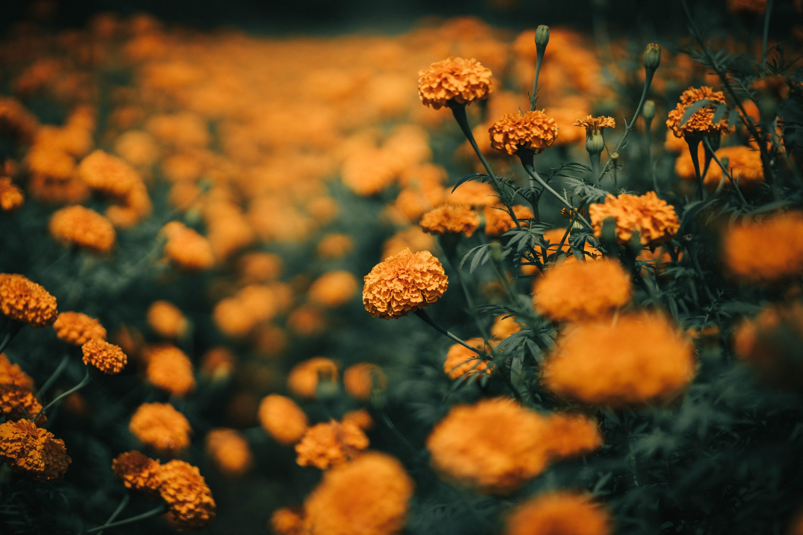 selective-focus-of-yellow-flowers-4038084