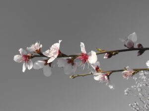 apricot-april-beauty-blooming-59318